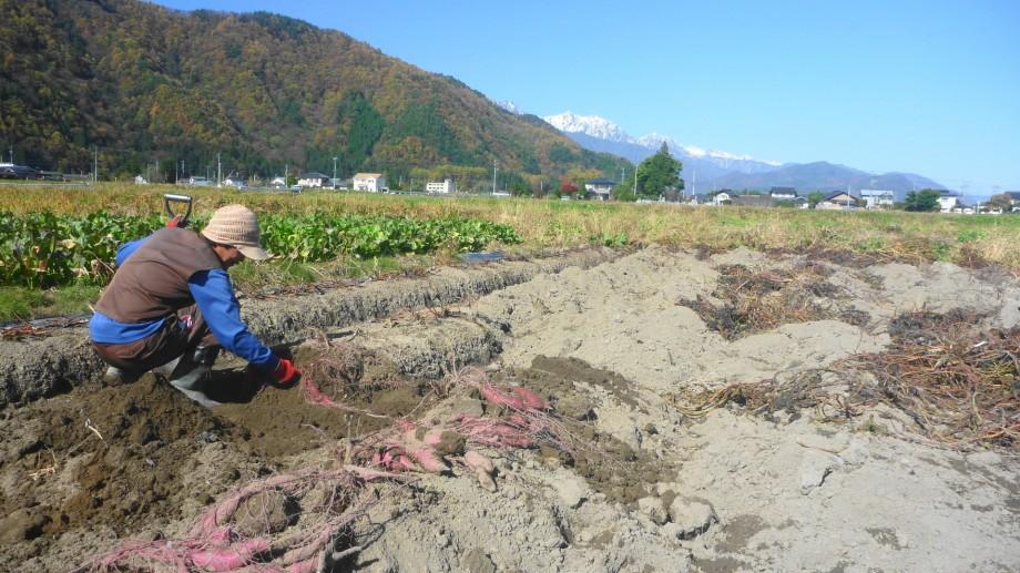 サツマイモ 肥料